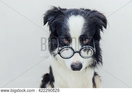 Funny Portrait Of Puppy Dog Border Collie In Comical Eyeglasses Isolated On White Background. Little