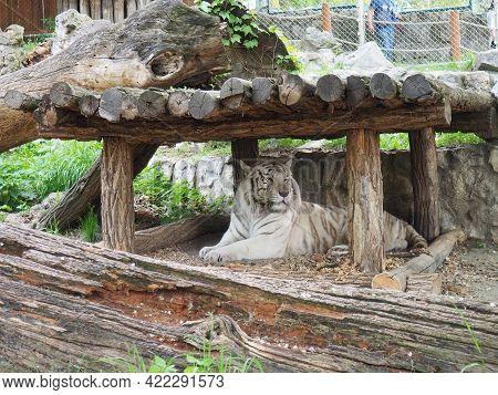 Bengal Tiger, Panthera Tigris Tigris Or Panthera Tigris Bengalensis. Albino Mutation - White Tiger.
