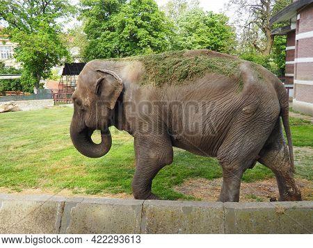 The Asian Elephant, Or Indian Elephant, Elephas Maximus Is A Mammal Of The Proboscis Order, A Genus