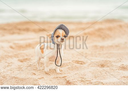 Vacation Concept.chihuahua Puppy Of White Color In A Denim Baseball Cap On The Sea. Dog On The Beach