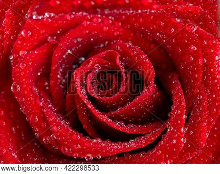 Beautiful Red Rose Flower And Water Drops On The Petals Close-up. Macrophotography. The Selected Sha
