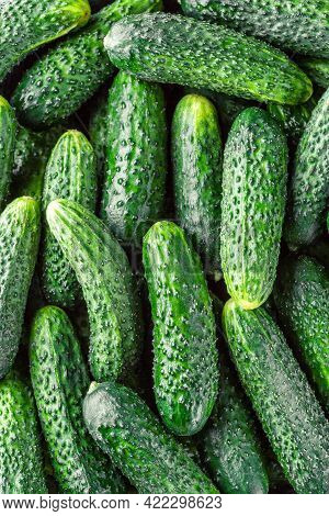 Cucumbers Background Cucumbers Harvest. A Lot Of Cucumbers.cucumbers Harvest In Summer. Cucumbers Fo