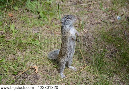 Summer Capture Of A Perky Franklin's Ground Squirrel Standing Up In A Weedy Field.