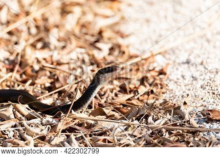 Southern Black Racer Snake Coluber Constrictor Priapus Slithers Along The Ground In Naples, Florida