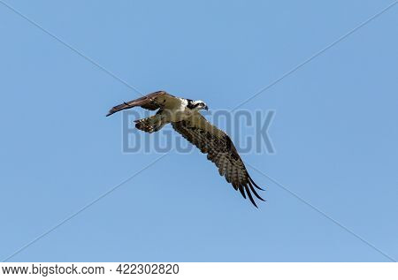 Flying Osprey Pandion Haliaetus Bird With Wings Spread And Talons Out Against A Blue Sky With A Male