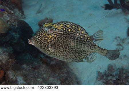 Honeycomb Cowfish On Caribbean Coral Reef