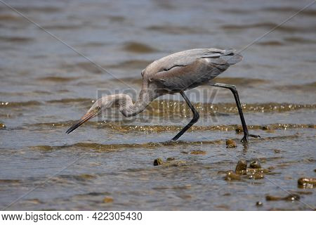Reddish Egret On The Tropical Island Of Bonaire, Part Of The Caribbean Netherlands.