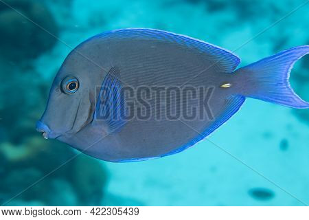 Atlantic Blue Tang On Coral Reef Off The Tropical Island Of Bonaire In The Caribbean Netherlands.