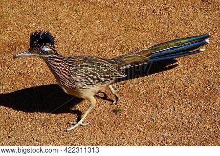 BIRDS; ROADRUNNER; SOUTHWEST USA; DESERT WILDLIFE; PALM SPRINGS AREA
