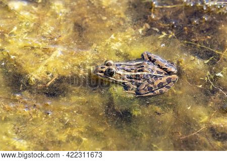 The Northern Leopard Frog Is Native North American Animal. It Is The State Amphibian Of Minnesota An