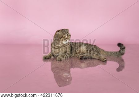 Beautiful Adult Cat, Breed Scottish-fold, Very Close Up Portrait, On Pink Background