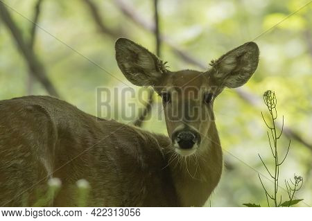 The White Tailed Deer, Hind On The Park
