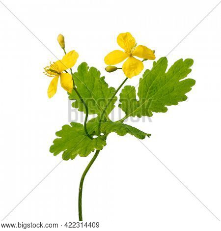 Twig of blooming  greater celandine with yellow flowers on white background close up,