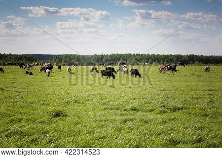 Group Of Cows Grazing On A Green Meadow. Cows Graze On The Farm. High Quality Photo