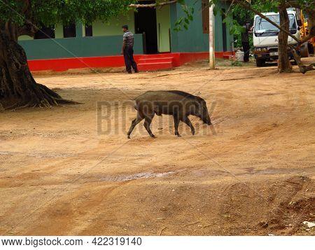Yala, Sri Lanka - 09 Jan 2011: The Warthog On The Safari In Yala National Park, Sri Lanka