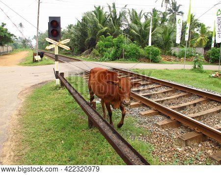 West Coast, Sri Lanka - 11 Jan 2011: The Cow On The Railway In Sri Lanka, West Coast, Indian Ocean