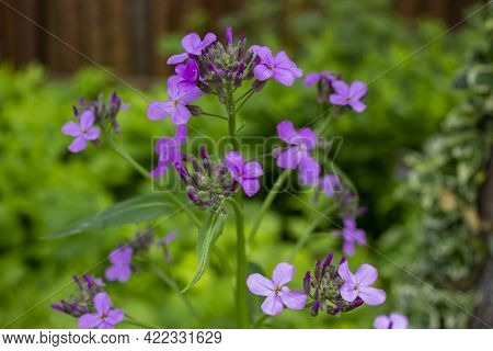 Violet Hesperis Flowers On The Green Grass Background