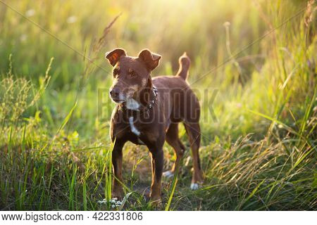 A Small Brown Terrier Dog Walks With A Collar In The Grass And In The Summer Sunlight. Dog In Nature