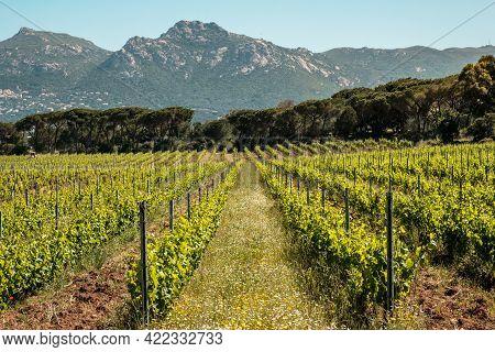 Wild Flowers Growing Between Rows Of Vines In A Vineyard At Calvi In The Balagne Region Of Corsica W
