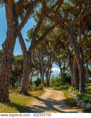 Morning Sun On A Group Of Pine Trees In A Vineyard In Corsica With Snow Capped Mountains In The Dist