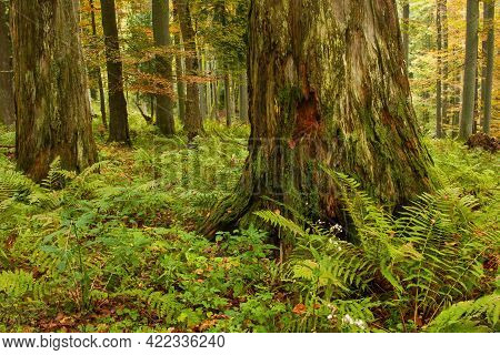 Massive Old Rotting Tree In A Primeval Forest In Autumn Nature.