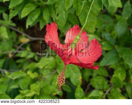 Close Up Spider Hibiscus Flower Or Hibiscus Schizopetalus Isolated On Background
