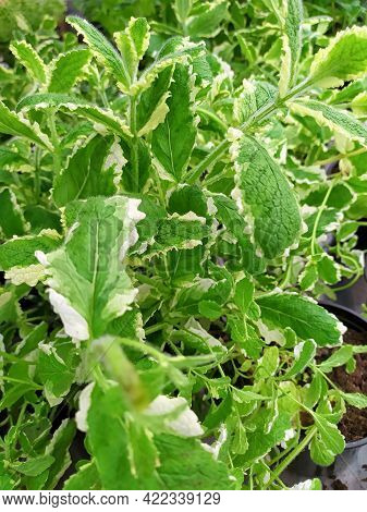 Pineapple Mint Plant With White Stripes On The Leaves.