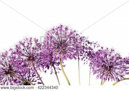 Beautiful Allium Flower Against A White Background. Allium Or Giant Onion Decorative Plant On A Flor