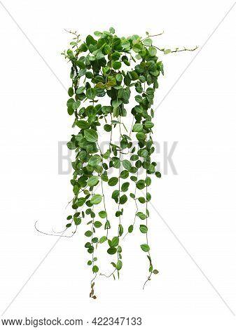 Hanging Vine Plant Succulent Leaves Of Hoya (dischidia Ovata Benth), Indoor Houseplant Isolated On W