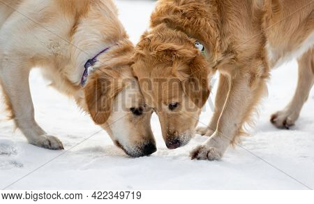 Two golden retriever dogs outdoor sniffing snow looking for something during winter walk in the park
