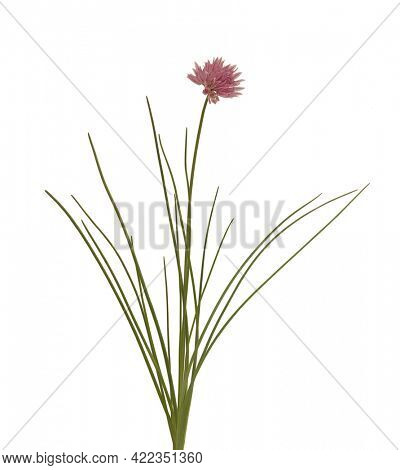 Chives fresh leaves with flower plant isolated on white background. Healthy food botany photo