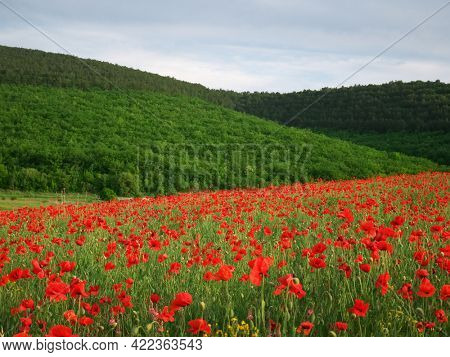 Spring meadow of poppies. Nature landscape composition.