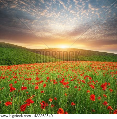 Spring meadow of poppies. Sunset nature landscape composition.