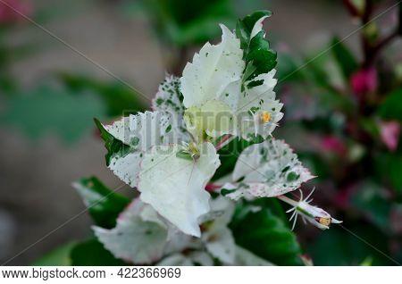Chinese Rose, Hibiscus Or Hibiscus Rosa-sinensis Variegata Plant