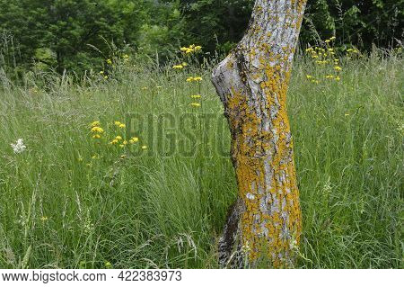 Moss Growing On A Tree Trunk In A Meadow In Late May Near The Village Of Merso Di Sopra In Udine Pro