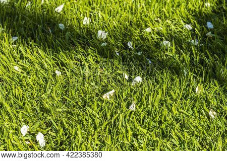 Beautiful View Of Front Garden Of A Private Garden With Fallen Petals Of Apple Tree. Green Lawn. Bea