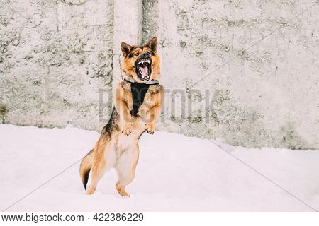 Training Of Purebred German Shepherd Dog In Special Outfit. Alsatian Wolf Dog During Exercise. Attac