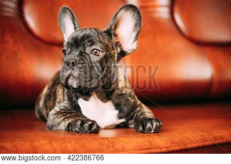 Young Small Black French Bulldog Dog Puppy Lying On Sofa. Funny Dog Baby With Beautiful Black Snout