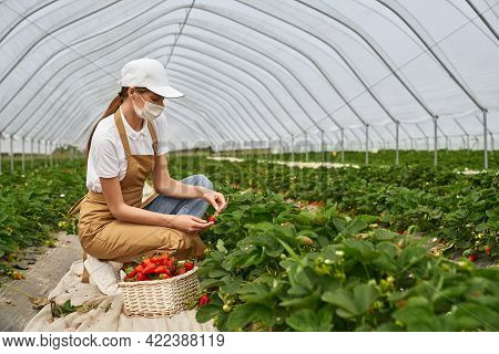 Young Female Farmer In Face Mask, Cap And Apron Harvesting Ripe Strawberries At Greenhouse. Caucasia