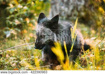 Belarus. Silver Fox Vulpes Vulpes In Autumn Forest. Close Up Fox.