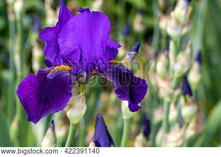Close-up Of Lilac English Iris Latifolia Flower In The Spring Garden. Macro Photography Of Lively Na