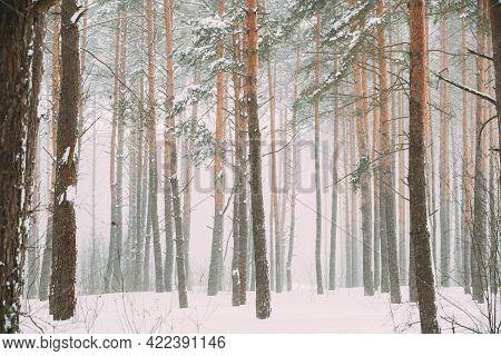Beautiful Snowy White Forest In Winter Frosty Day. Snowing In Winter Frost Woods. Snowy Weather. Win