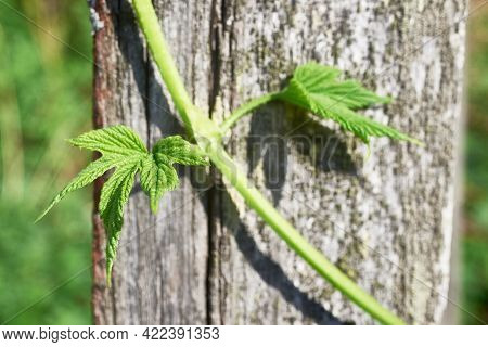 A Young Hop Shoot With Small Leaves On An Old Wooden Mossy Fence Board. Close-up, Macro