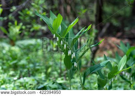Perennial Herbaceous Plant Kupena Polychlorum Polygonatum Multiflorum, Asparagus Family Asparagaceae