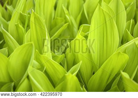 Fresh Green Lily Of Valley Leaves. Natural Background. Wild Forest Flowers. Forest In Early Spring.