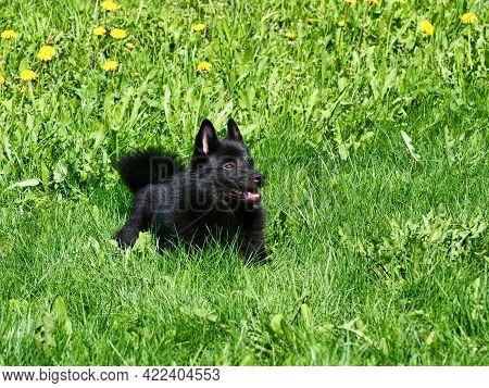 Charming Belgian Shepherd Schipperke Lies On The Background Of Yellow Dandelions. Bright Sunny Day