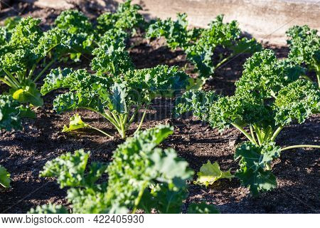 Green Kale Growing In Vegetable Bed. Community Garden In The Local Park
