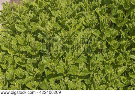 Close-up Of A Spearmint Plant - Mentha Spicata
