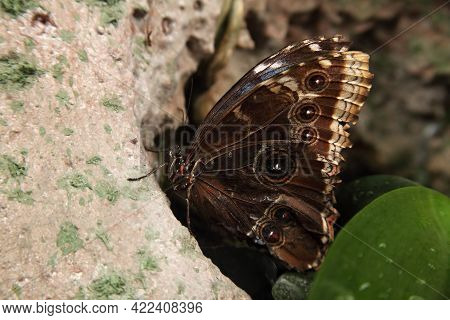 The Peleides Blue Morpho, Common Morpho Or The Emperor (morpho Peleides) Is A Big Butterfly From Mex