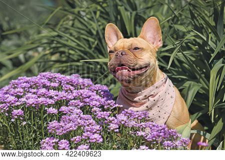 Red Fawn French Bulldog Dog Sitting Between Purple Spring Flowers